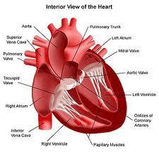 obat jantung tradisional